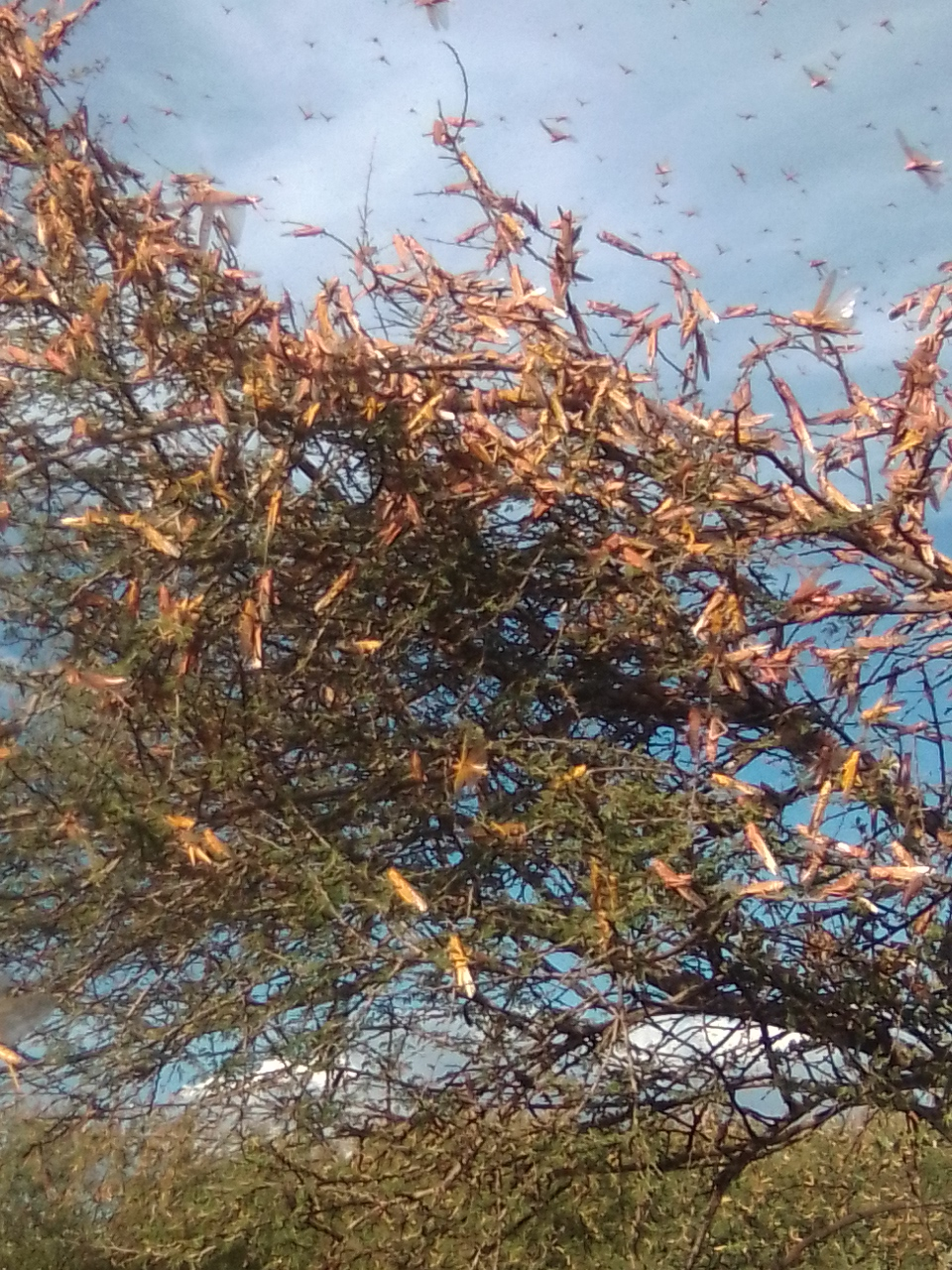 Read more about the article Locust Invasion in Baringo